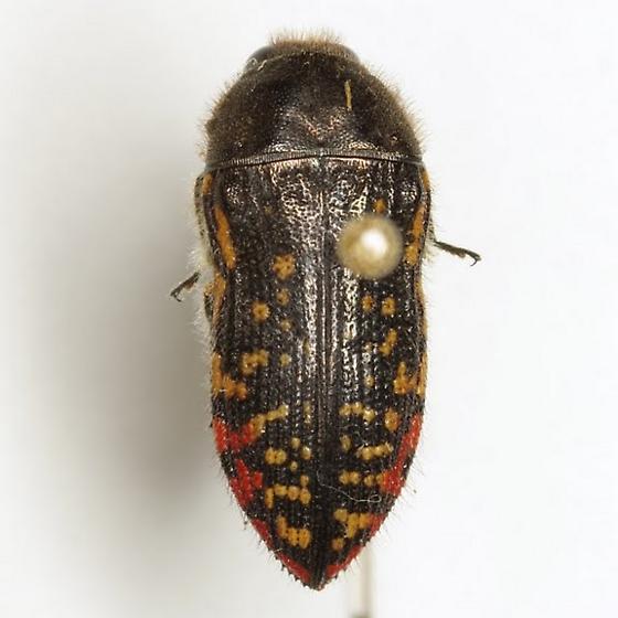 Acmaeodera miliaris Horn - Acmaeodera miliaris
