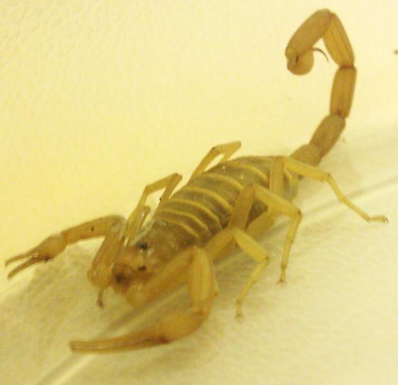Bark Scorpion??? - Centruroides sculpturatus