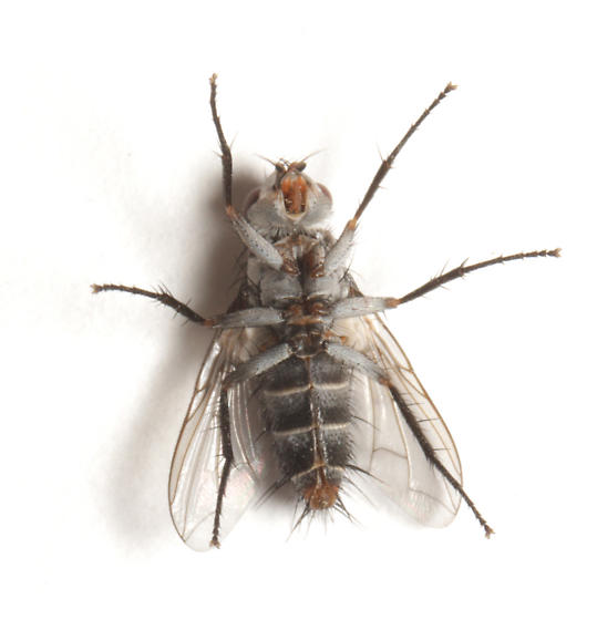 Tachinidae, ventral - Zelia metalis - female
