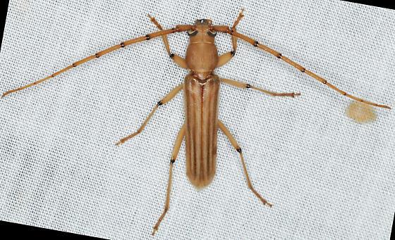 Malacopterus tenellus