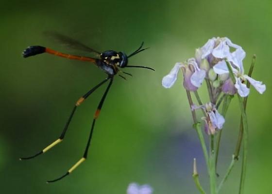 Long legged wasp - Systropus arizonicus