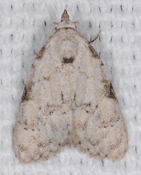 Meganola phylla - Coastal Plain Meganola Moth - Meganola phylla - female