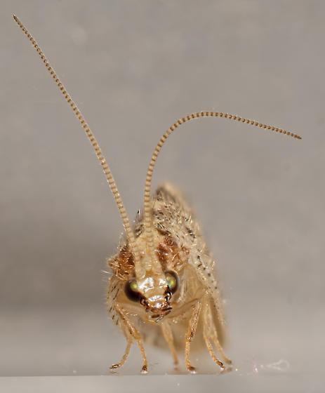 Hemerobius - Hemerobius humulinus - female