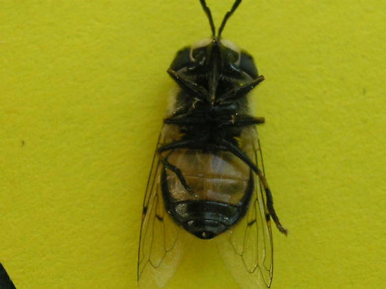 Copestylum marginatum? (Syrphidae)  in Colorado Springs - Copestylum lentum