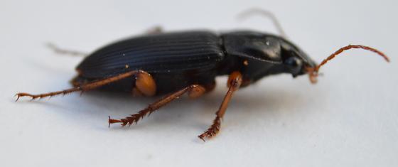 Ground Beetle - Harpalus - male