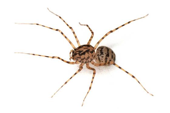 Scytodes thoracica - female