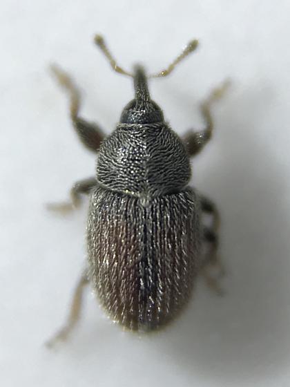 Mecinus pascuorum