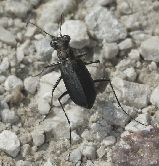 Numerous Tiger Beetles on the gravel Road above the Root Cellar - Cicindelidia punctulata