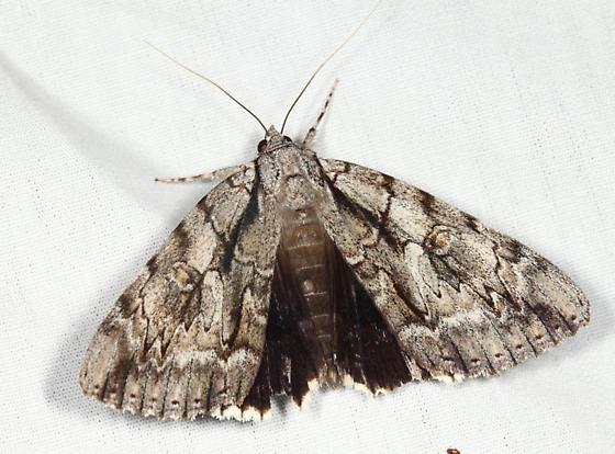 Yellow-gray Underwing - Catocala retecta-luctuosa