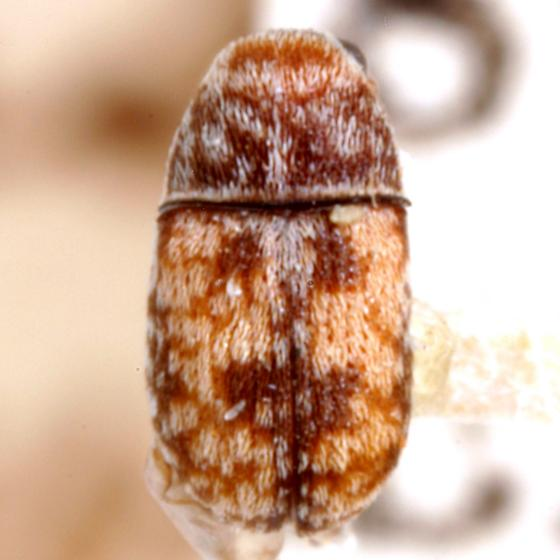Eusphyrus rectus Schaeffer - Eusphyrus rectus