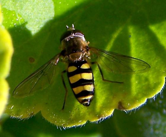 Syrphid Fly (Syrphidae)  (Tribe Syrphini)    - Eupeodes