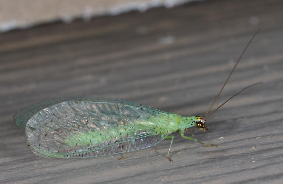 Green Lacewing - Chrysopa
