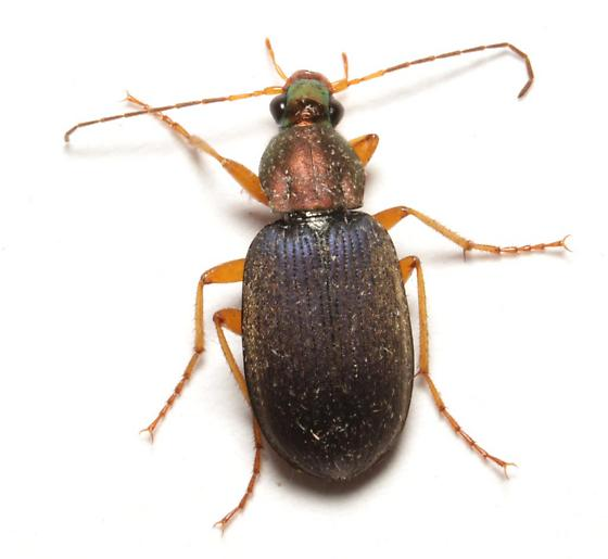 Carabidae, dorsal - Chlaenius tricolor