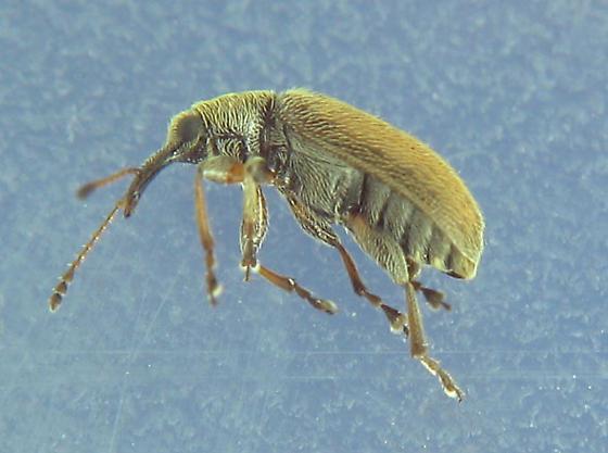tan weevil - Cimberis pilosa
