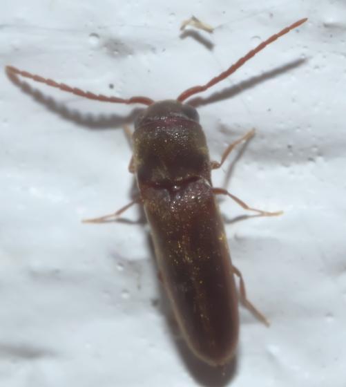 Brown false click beetle - Dirrhagofarsus ernae