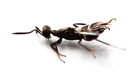 Anastatus - female