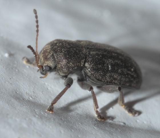 Brown beetle - Myochrous