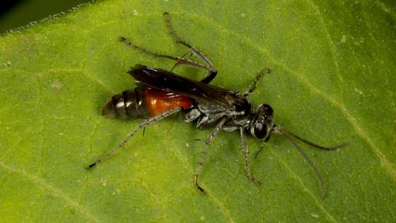 Unknown wasp  - Anoplius semirufus