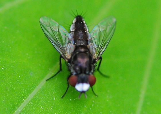 Subfamily Miltogramminae - Satellite Flies