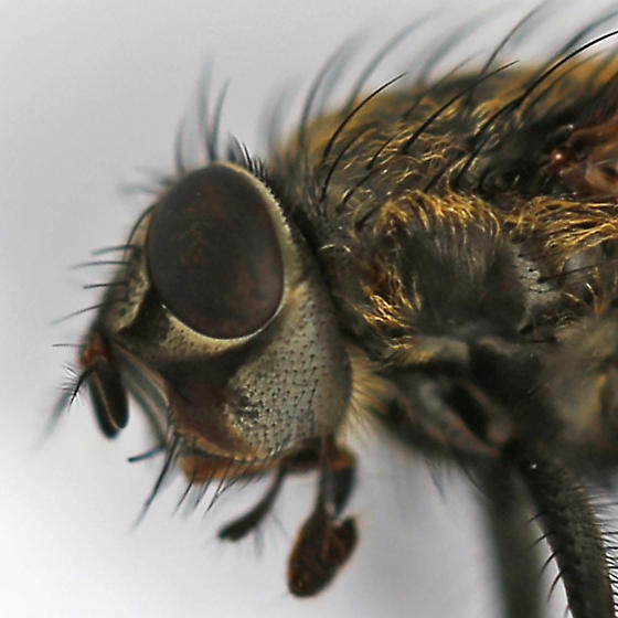 cluster fly - Pollenia labialis