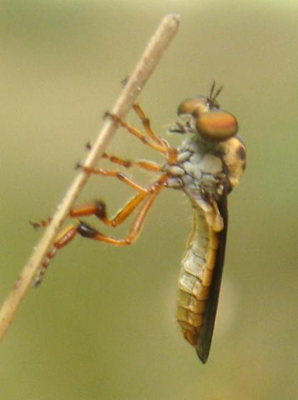 Holcocephala? - Holcocephala abdominalis