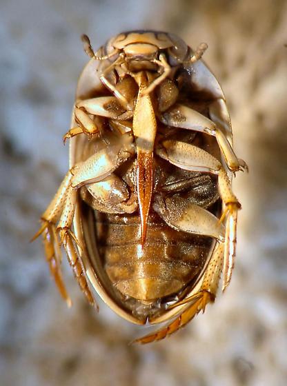 Light colored Hydrophilidae - Tropisternus collaris
