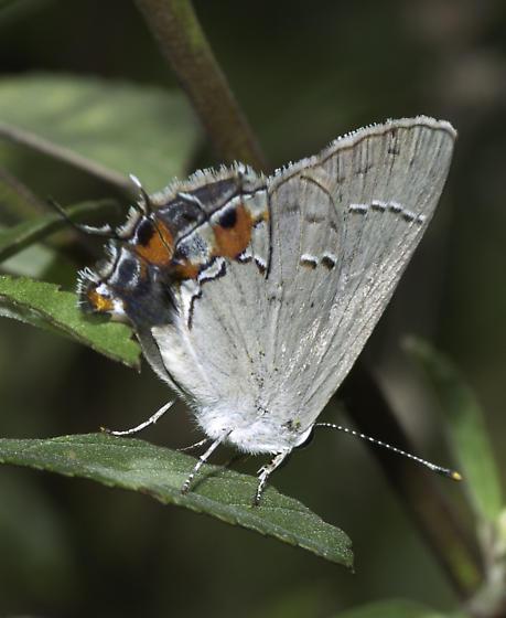 small bayside hairstreak - Strymon melinus - female