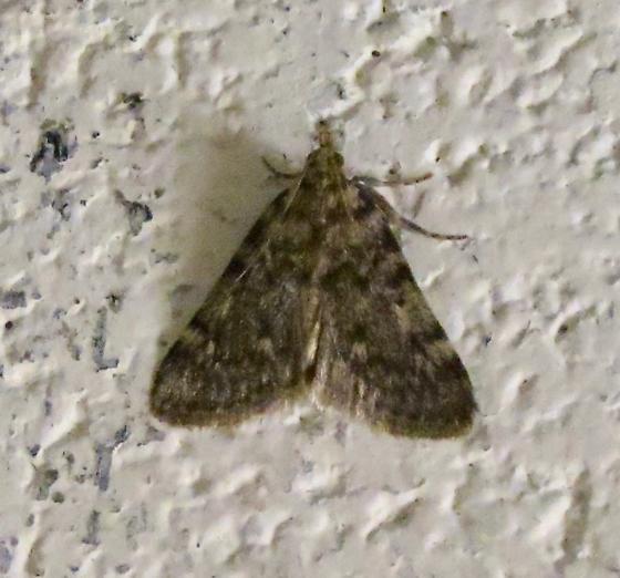 Tussock or Gynaephora Moth? - Aglossa pinguinalis