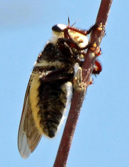 Hawking Fly - Mallophora fautrix