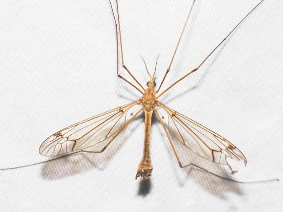 Dark-brown-veined crane fly - male