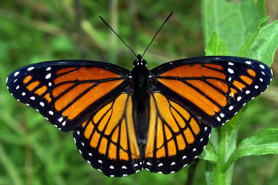 Viceroy For Illinois In May - Limenitis archippus