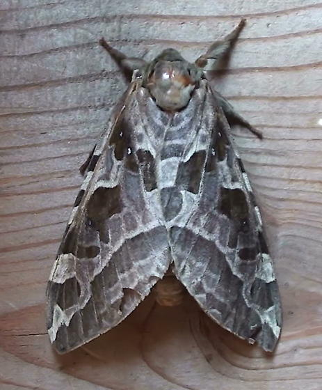 Hepialidae: Sthenopis purpurascens - Sthenopis purpurascens - female