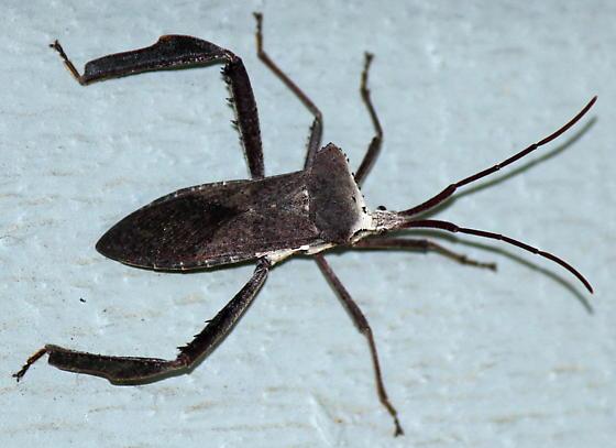 leaf footed bug - Acanthocephala declivis