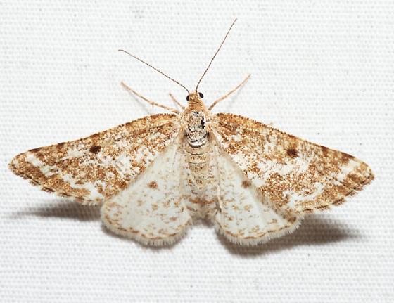 Pine Powder Moth - Eufidonia convergaria - female