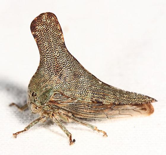 treehopper - Glossonotus acuminatus