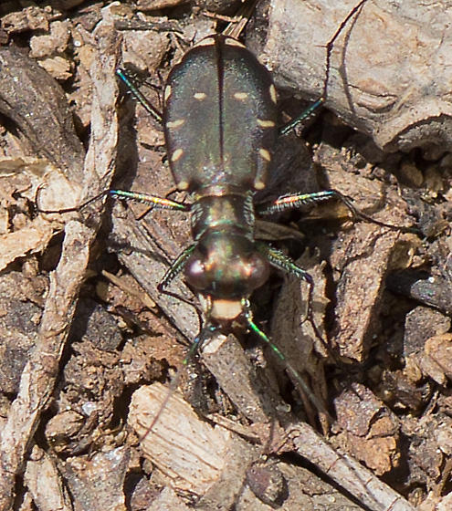 Is this an oddly marked Cicindela limbalis? - Cicindelidia rufiventris