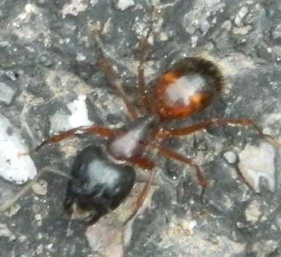 Ant #1 - Camponotus sansabeanus