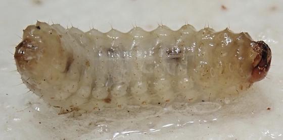 Gerstaeckeria hubbardi