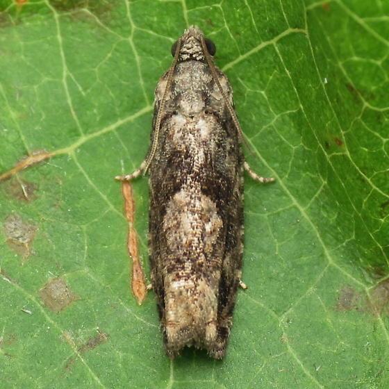 A Tortricid Moth - Gretchena concitatricana