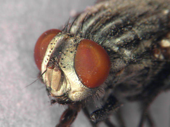 Flesh fly - Sarcophaga