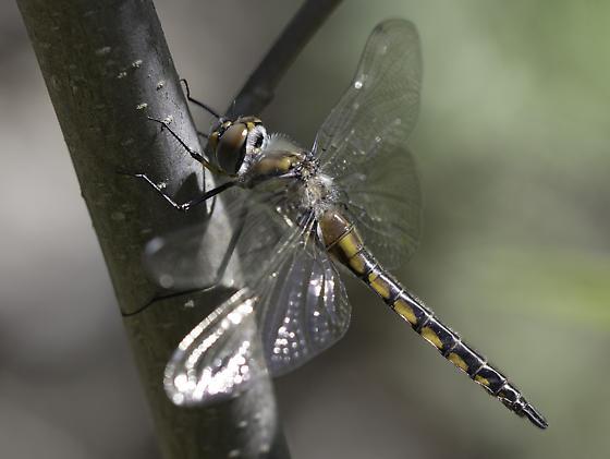 Baskettail - Epitheca