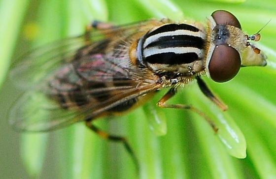 Syrphid Flies Lejops lineatus - Lejops lineatus