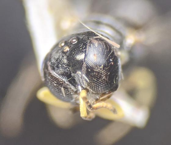 Square Headed Wasp? - Crossocerus