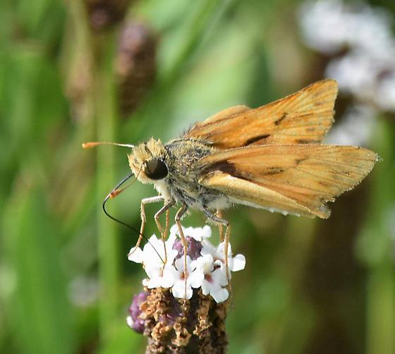 Fiery Skipper (Hylephila phyleus) ? - Hylephila phyleus