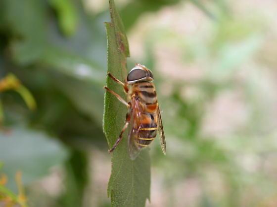 Bee Mimic in Atlantic Beach, NC  Fort Macon State Park - Palpada vinetorum
