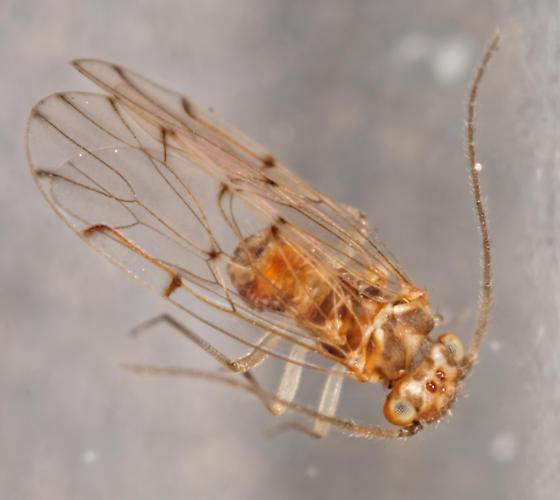 tiny Ectopsocus - Ectopsocus