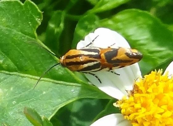 some type of harlequin bug? - Spragueia onagrus