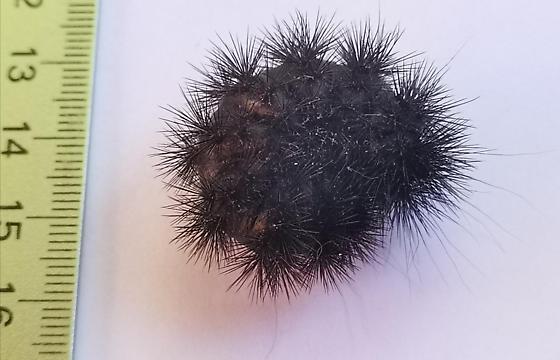 Large black hairy larva or carterpillar