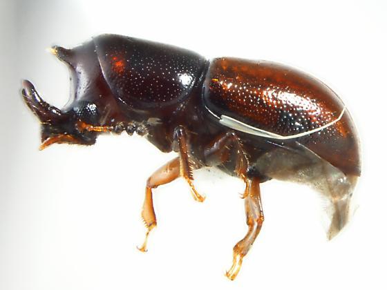 Ciidae - Octotemnus - male