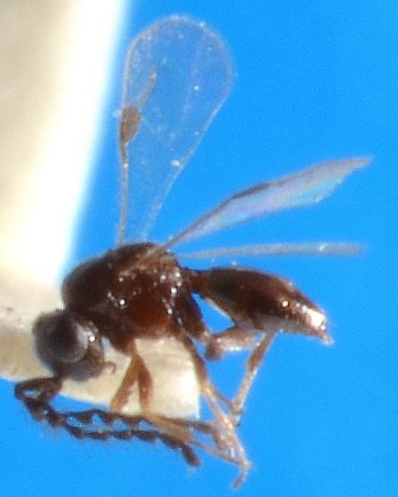 Dendrocerus male - Dendrocerus - male
